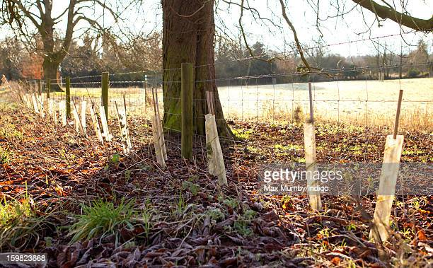 Saplings planted around the perimeter of the grounds of Anmer Hall on the Sandringham Estate on January 13 2013 in King's Lynn England It has been...