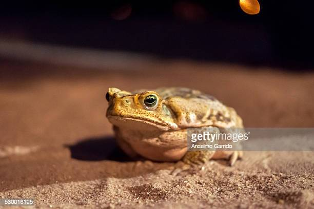 sapo cururu - cane toad stock pictures, royalty-free photos & images