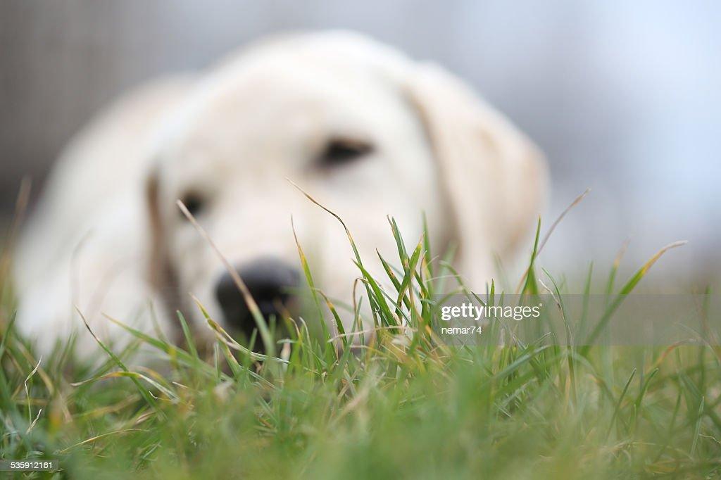 Sara Labrador retriever cachorrinho em bokeh sobre grama : Foto de stock
