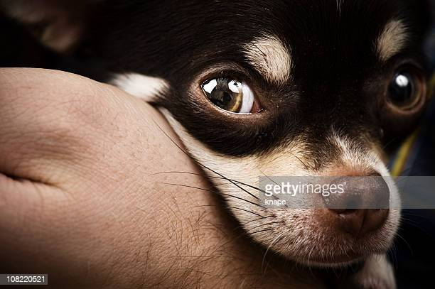 Sara il Chihuahua