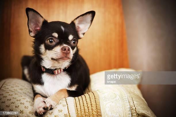 Sara der Chihuahua
