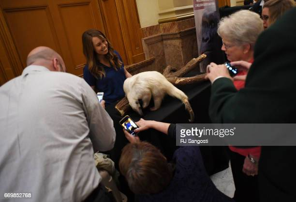 Sarah Dugger, of the Denver Zoo, shows off a tamandua, named Rio, during Denver Zoo Day at the Colorado State Capitol on April 18, 2017 in Denver,...
