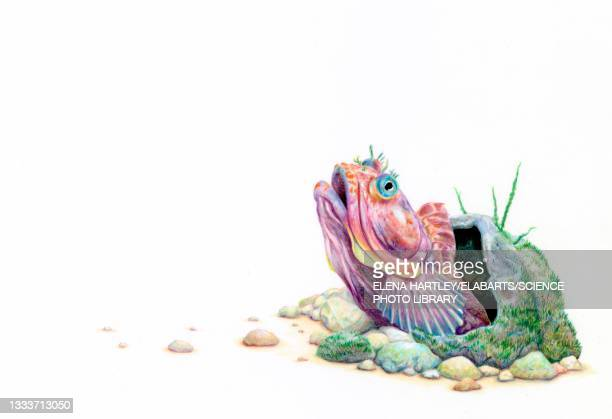 sarcastic fringehead, illustration - science and technology stock pictures, royalty-free photos & images