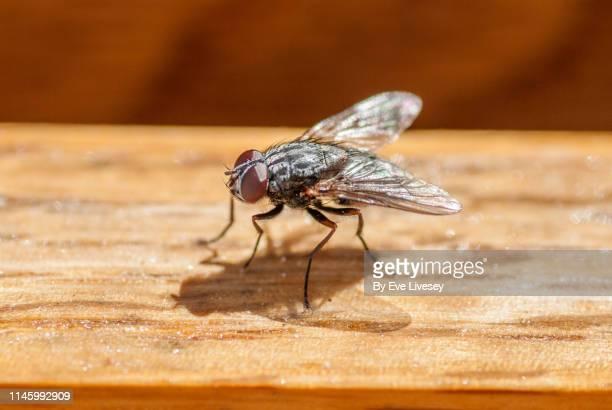 sarcophagus fly - vliegen stockfoto's en -beelden