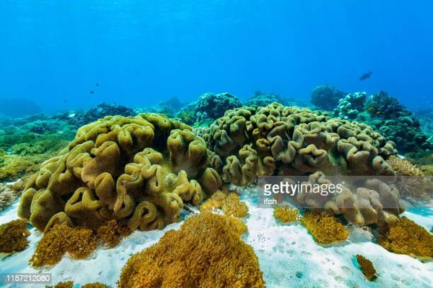 trocheliophorum do sarcophyton, parque nacional de komodo do paraíso coral macio, indonésia - coral cnidário - fotografias e filmes do acervo