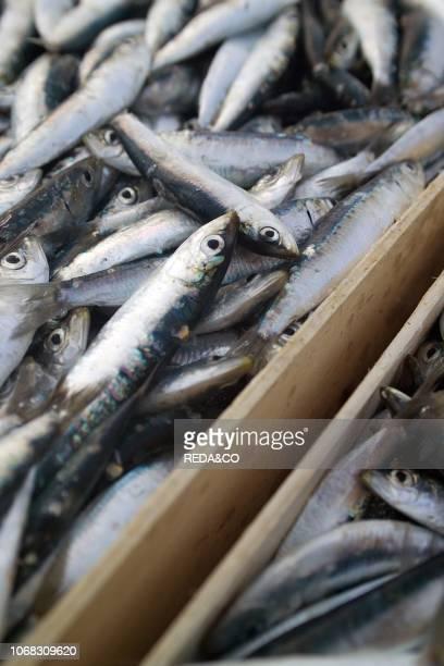 Sardine fishing with lampara fishing fleet Cetara Gulf of Salerno Campania Italy