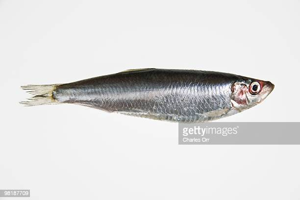 a sardine - one animal stock photos and pictures