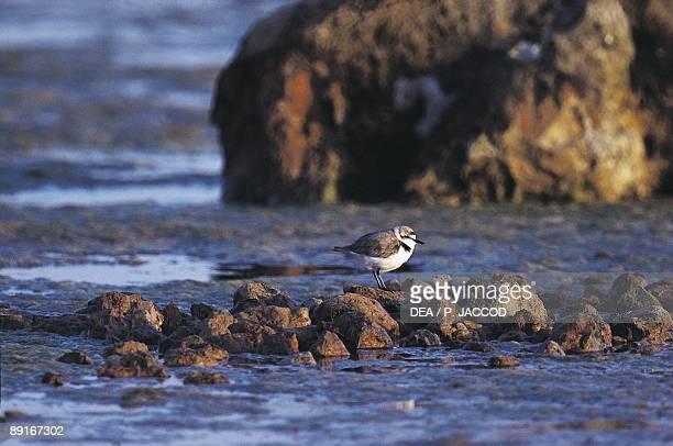 Sardinia, Sinis, Snowy plover on rocks at seashore
