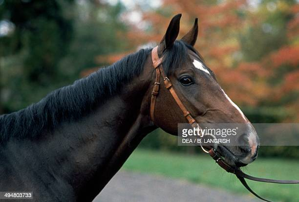 Sardinian or Sardinian AngloArab horse Equidae