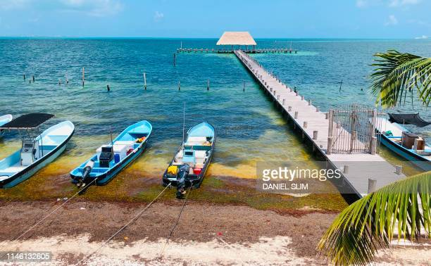 60 Top Sargassum Pictures, Photos and Images - Getty Images