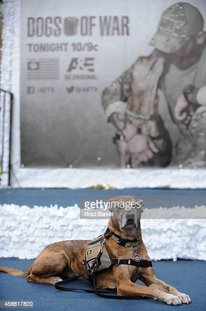 Sarge the Dog attends the AE's Dogs Of War At The NYC Veterans Day Parade on November 11 2014 in New York City