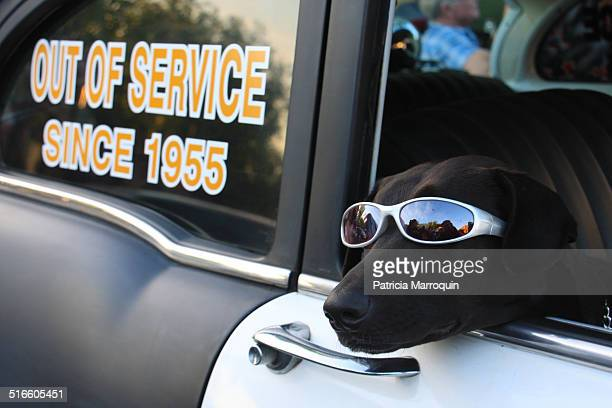 Sargent Bono, a black Labrador retriever and a celebrity in Ventura and Santa Barbara counties. Sgt. Bono appeared at classic car shows, including...
