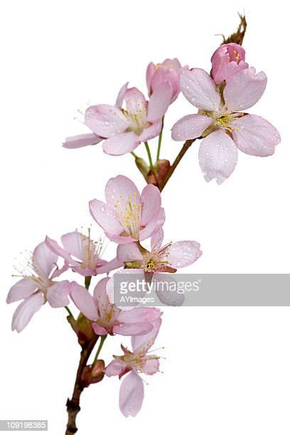 sargent cherry branche avec des fleurs (prunus sargentii - fleur de cerisier photos et images de collection