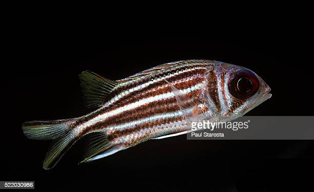 sargocentron seychellense (yellow-tipped squirrelfish, seychelles squirrelfish) - squirrel fish stockfoto's en -beelden