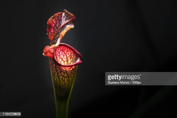 sarracenia leucophylla bbq - carnivora stock photos and pictures