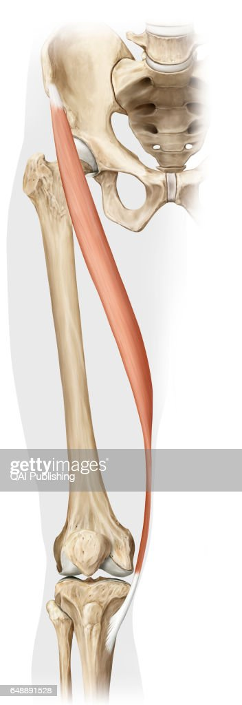 Sartorius Muscle Long Narrow Ribbon Shaped Muscle That Allows The