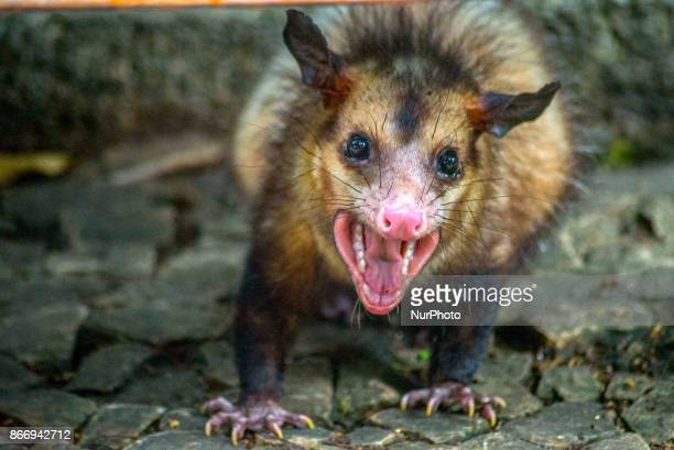 A Saruê blackeared possum a species of possum that inhabits Brazil Argentina and Paraguay is seen on September 26 2017 in Trianon Masp Park on...