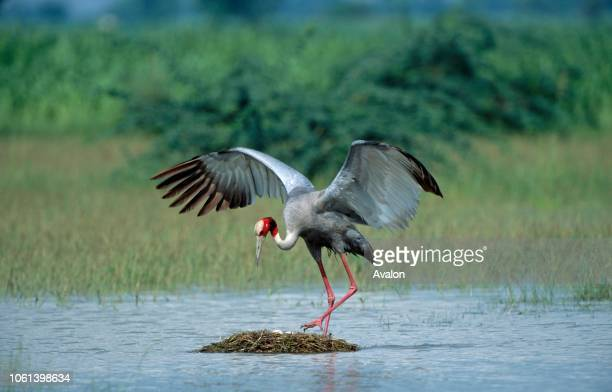 Sarus crane approaching nest Date
