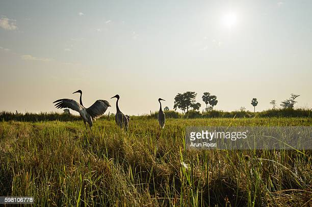 Sarus crane feeding in paddy rice field after harvest at sunrise, Buriram province, north east of Thailand.