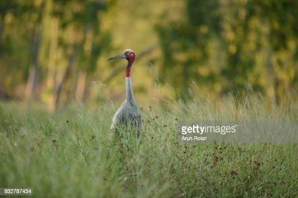 Sarus crane foraging for food in the green field Huay Jorrakaemak Reservoir Non-Hunting Area, Burirum province, Thailand