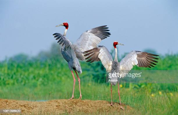 Sarus cranes displaying wings Date