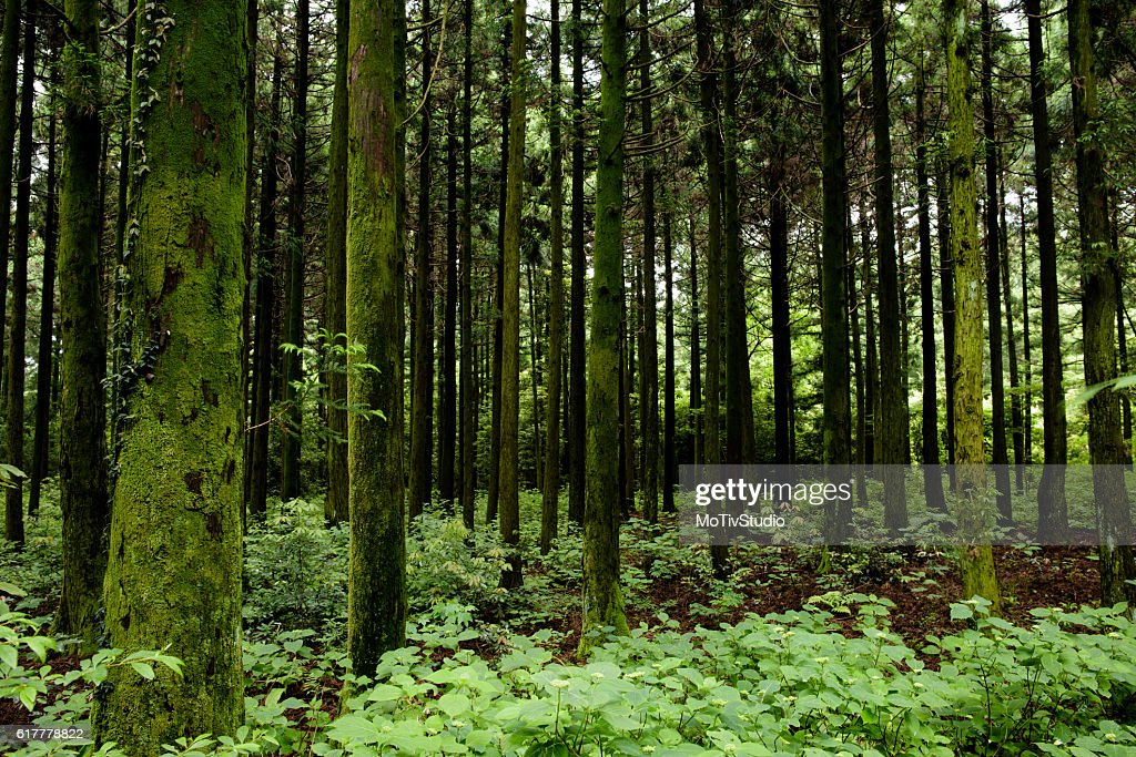 Saryeoni Forest Stock Photo - Getty Images