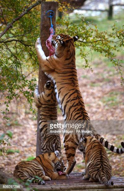 Sasha an Amur tiger at feeding time with her three sixmonthold cubs Vladimir Natalia and Dominika at the Highland Wildlife Park in Kingussie