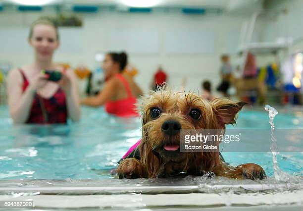 Sasha takes a break from swimming during the annual Puppy Swim at the Burbank YMCA in Reading Mass Aug 21 2016