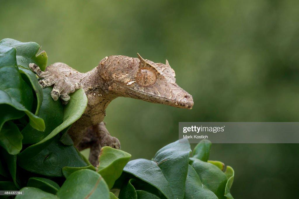 Satanic Leaf Gecko lurking in Tree : Stock Photo