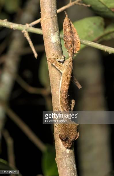 Satanic Leaf Tailed Gecko (Uroplatus phantasticus), camouflaged by a tree trunk, endemic, Anjozorobe National Park, Madagascar