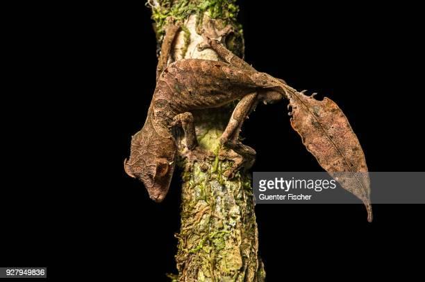 Satanic Leaf Tailed Gecko (Uroplatus phantasticus), endemic, Anjozorobe National Park, Madagascar