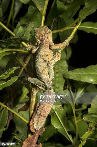 Satanic Leaf Tailed Gecko (Uroplatus phantasticus) in the tree, endemic, Anjozorobe National Park, Madagascar