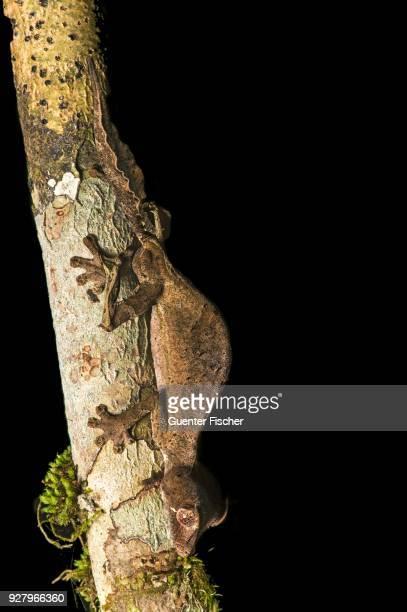 Satanic Leaf Tailed Gecko (Uroplatus phantasticus) to tree trunk, endemic, Anjozorobe National Park, Madagascar