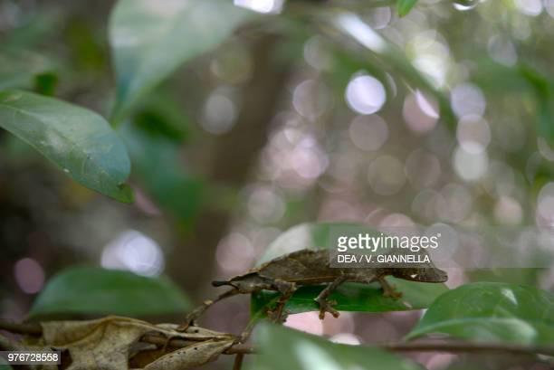 Satanic leaftailed gecko Gekkonidae Madagascar