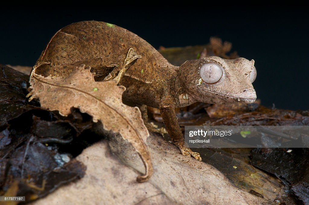 Satanic leaf-tailed gecko / Uroplatus phantasticus : Stock Photo