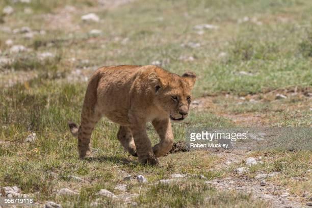 Sated Lion Cub