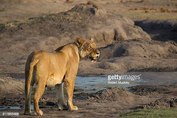 Sated Lioness