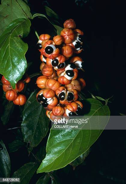 SatereMawe Amerindians used guarana to keep them vigilant on hunting expeditions Guarana is now a product in the international trade circuit