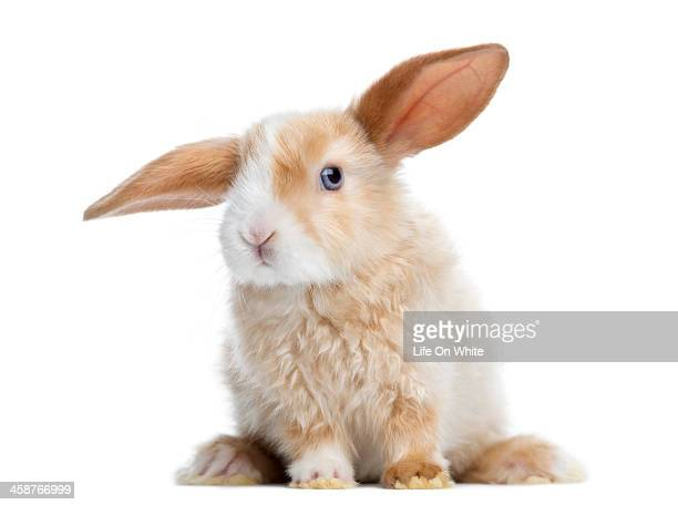 Satin Mini Lop rabbit ear up, sitting, isolated
