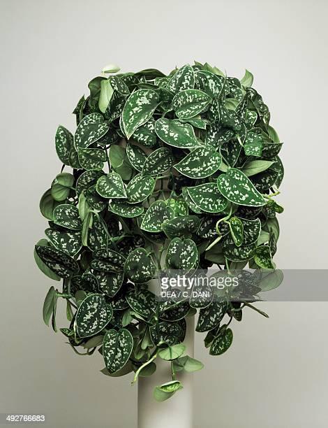 Satin pothos silver vine Araceae