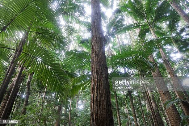 Satinay trees, Pile Valley, Fraser Island, Australia.