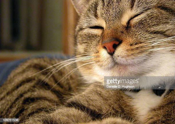 a satisfied cat - grafton  massachusetts stock pictures, royalty-free photos & images