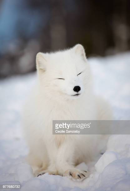 satisfied - arctic fox stock pictures, royalty-free photos & images