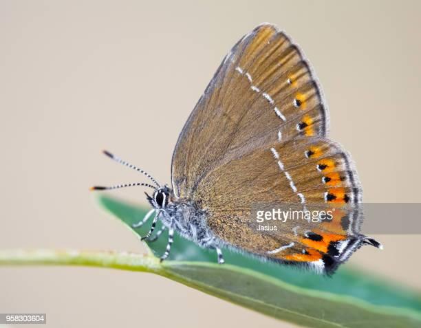 Satyrium pruni – Black hairstreak butterfly