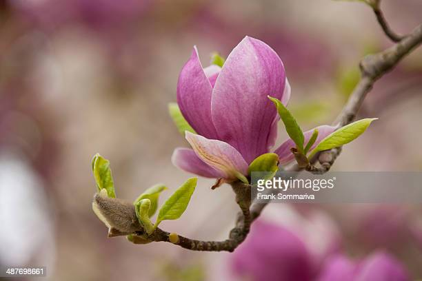saucer magnolia -magnolia x soulangeana-, flowering, thuringia, germany - tulip tree stock photos and pictures
