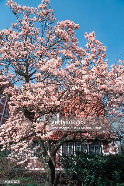 Saucer Magnolia (Magnolia x soulangiana)