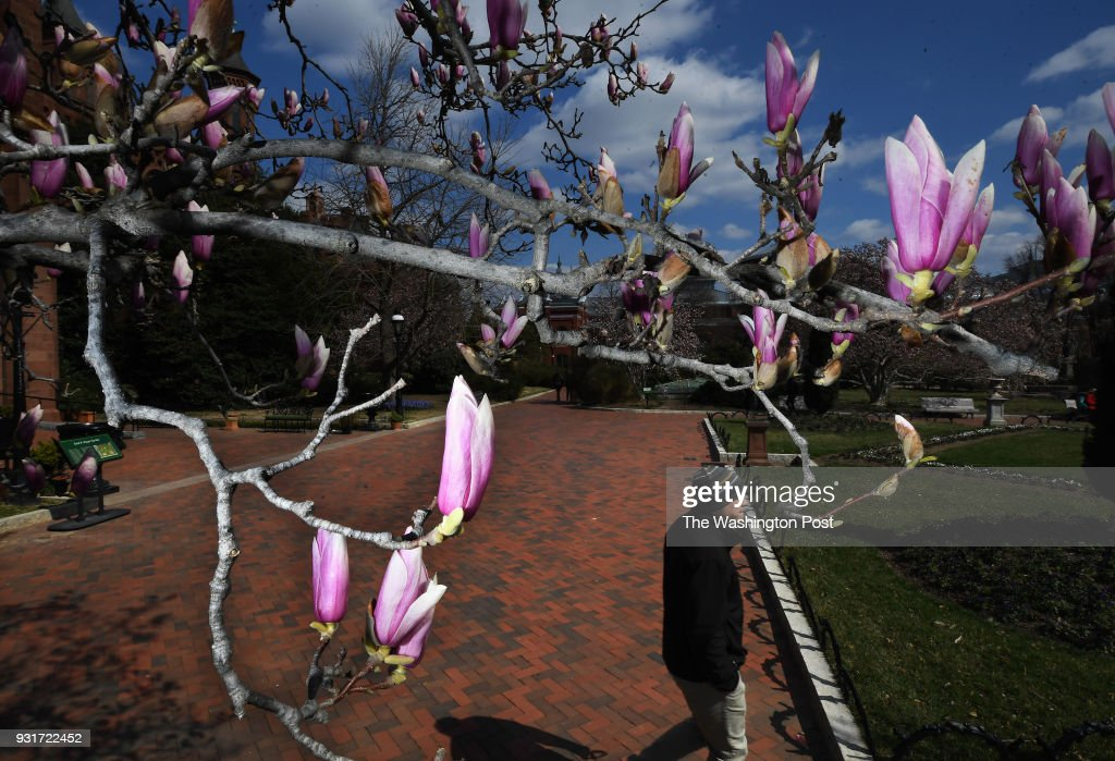 A Saucer Magnolia Tree Shows Color Outside The Smithsonian Castle On