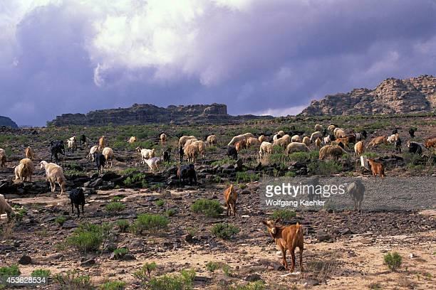 Saudi Arabia Near Abha Goats