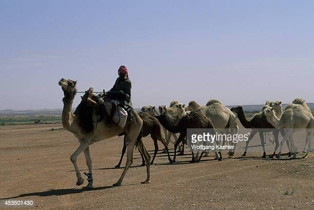 Saudi Arabia Near Riyadh Bedouin Herding Camels