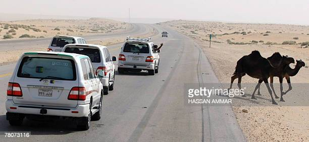 Saudi drivers stop their cars on a Dammam highway to make way for a caravan of camels 350 kms east of the Saudi capital Riyadh 23 November 2007 AFP...